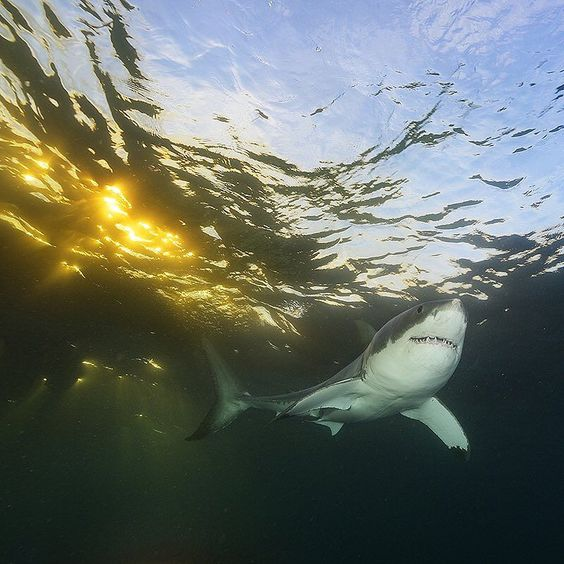 "thephotosociety: ""Photo by @BrianSkerry A Great White Shark swims in shallow water at sunset in the waters of South Australia. New research is revealing more complex behaviors and fascinating lives for this dominant apex predator species of shark than was previously known. And as with all predators their value is substantial for the health of the worlds oceans. Coverage from an upcoming story in @natgeo about great white sharks. For more shark and ocean wildlife photos #follow @BrianSkerry…"
