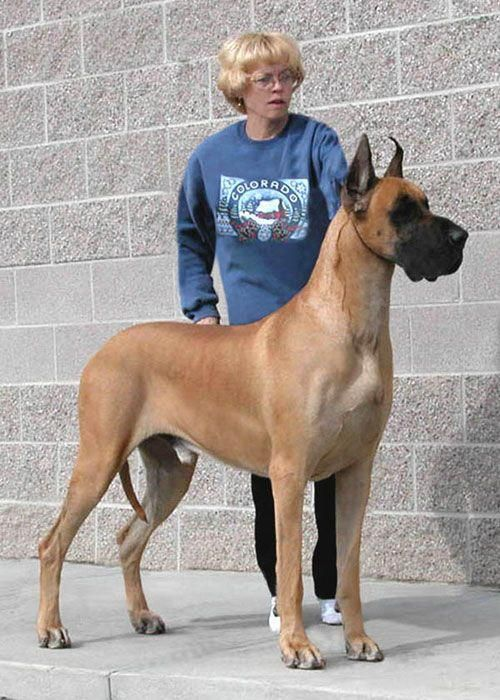 Pin By P N On Beasts Great Dane Fawn Great Dane Dogs Great