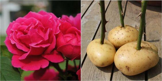 3 métodos para plantar esquejes de rosa (incluye la polémica técnica sobre el cultivo en patatas)... ¿Y tú de quién eres ;)?