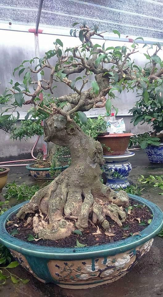 Stylish Asian Garden Grandville Exclusive On Home Decor Gallery Bonsai Ficus Bonsai Tree Types Asian Garden
