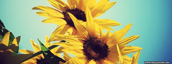 Sunflowers #Facebook Cover