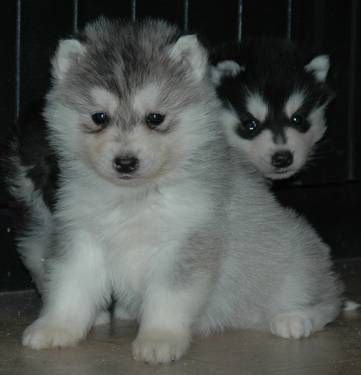 AKC Siberian Huskies