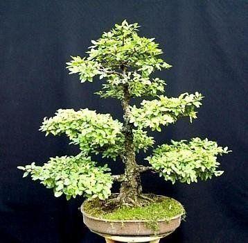 9GreenBoxs: Chinese Elm Bonsai 25 Seed/Seeds - Ulmus parvifolia by 9GreenBoxs:, http://www.amazon.ca/dp/B000UFSJ44/ref=cm_sw_r_pi_dp_a0dltb09623FD