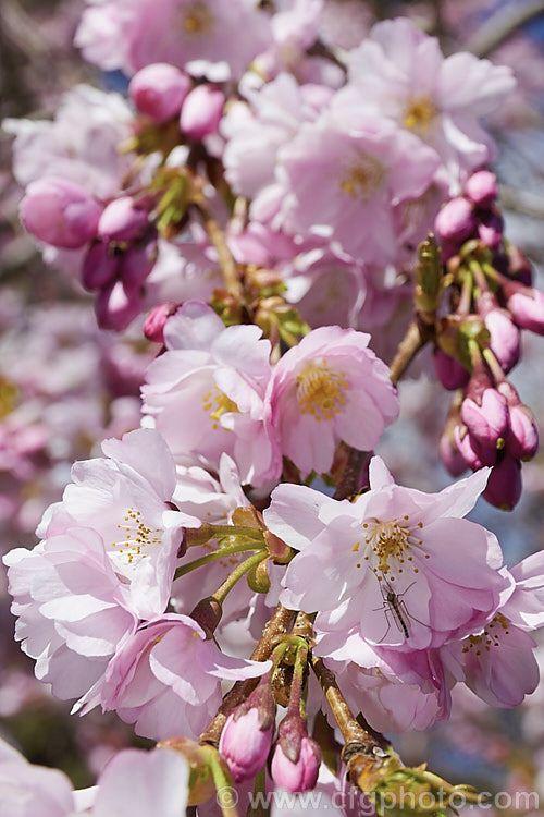 Prunus Accolade Photo Flowering Cherry Tree Prunus Photo