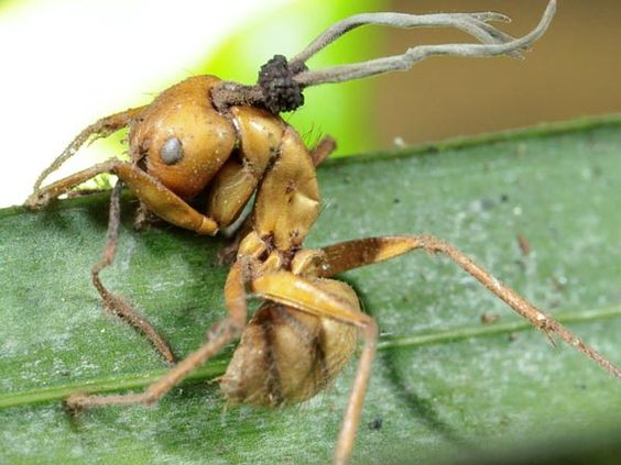 Zombie Ants controlled by Fungi