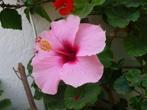 Una de las flores de la esquina de la calle de la Salud de Altea. Portada de la web el 17-06-2013.