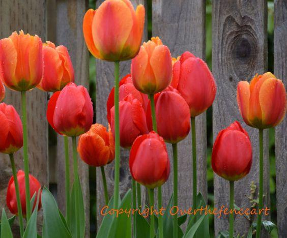 Tulip Nature PhotographyFine Art PhotoLandscape by overthefenceart, $5.00