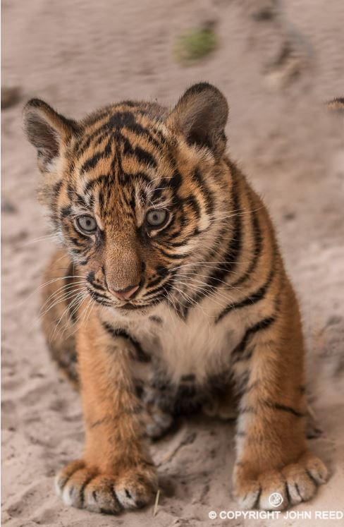 Jacksonville Zoo and Gardens' (JZG) first Tiger cub in 35 years will make her public debut on Saturday, February 13 at 10:00 a.m. The 18-pound Sumatran Tiger cub, born Nov 19, will be on exhibit for the first time in JZG's 'Land of the Tiger'. Check out ZooBorns to learn more! http://www.zooborns.com/zooborns/2016/02/jacksonville-zoo-set-to-debut-sumatran-tiger-cub.html