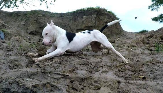 Mi Mascota en Camara Lenta - The Pitbull Slow Motion with Gopro
