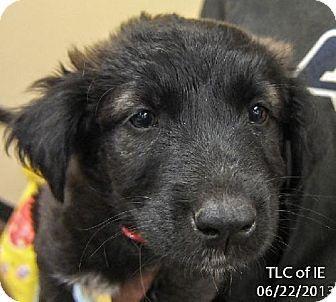 Moreno Valley, CA - Cocker Spaniel/Labrador Retriever Mix. Meet 20130622BB a Puppy for Adoption.