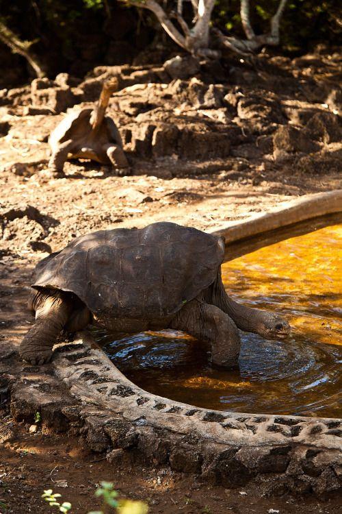Diego, la tortuga gigante que tuvo 800 crías, salvó a su especie en la isla de las Galápagos. Tiene 100 años y vive con sus hembras en un santuario.