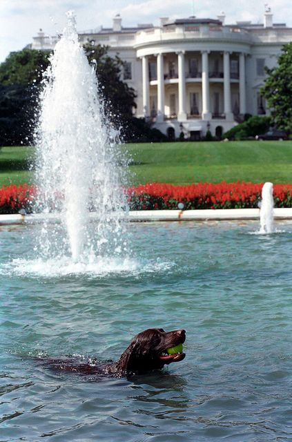 White House Swimming Pool Photograph Of Buddy The Dog In The White House Swimming Pool