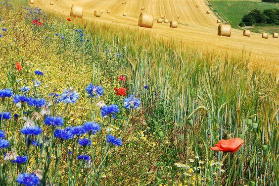 paesaggio agreste, fiori di campo, balle di fieno, grano, gluten free, semi antichi, country