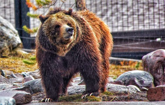 #ianbaileytravelphotography #ianbailey #travel #travler #contiki #ilovemyjob #noregrets #nature #bear #yellowstone