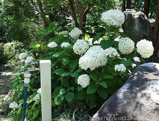 庭に咲いたアジサイ アナベルの花 アジサイ 庭 ライムグリーン