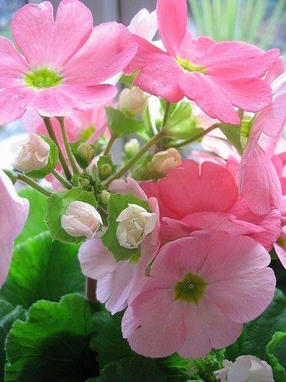 ~Primula (Primula Obconica)