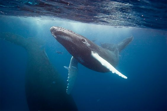 Gorgeous shot of an humpback calf!