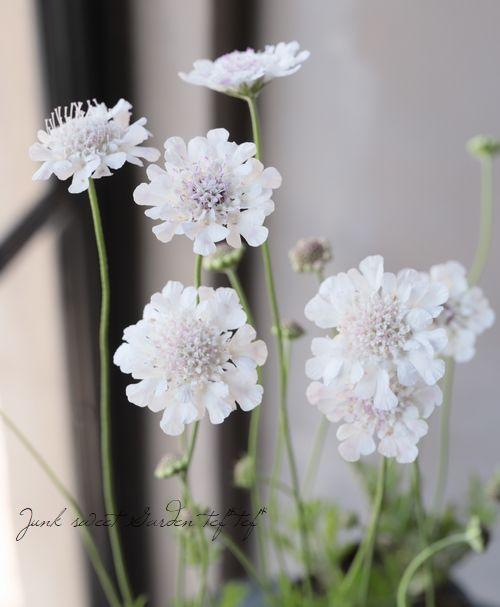 スカビオサ クドーホワイト Junk Sweet Garden Tef Tef 綺麗な花 美しい花 ガーデニング