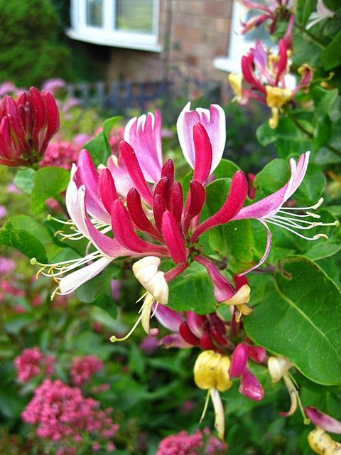 "Honeysuckle- how many of you picked these & picked the ""honey"" out of them as a child?"