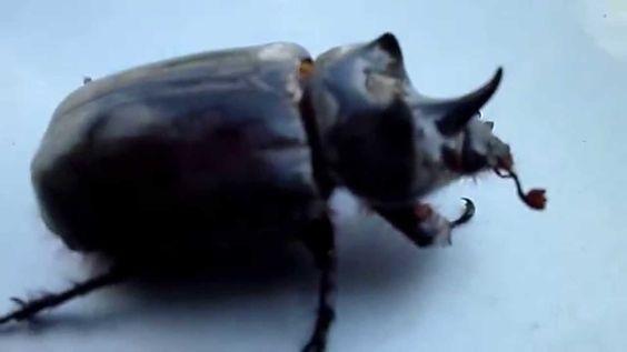 A dança do Escaravelho - Rinoceronte