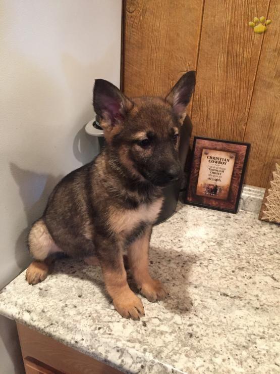 Skylar German Shepherd Puppy For Sale In Lancaster Pa Shepherd