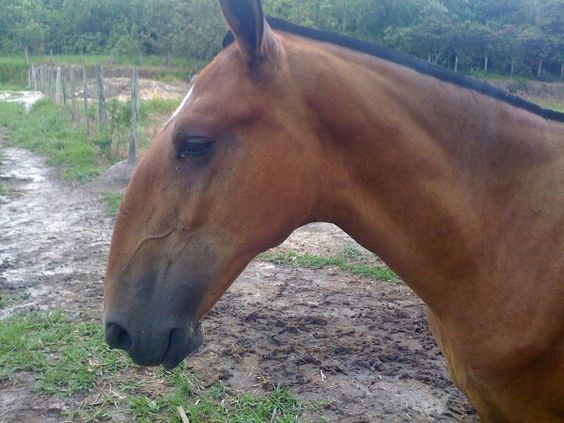 Campolina - a sturdy and surefooted  horse breed that is popular in Brazil.  I love ALL horses.....but I'm sorry, I hate this profile!  EXTREME Roman nose.