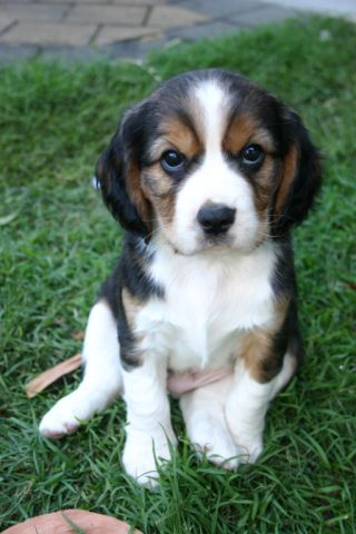 Our precious Mr Wilson - when he was a puppy :-) Love him to bits. - Beaglier - beagle -x-cavalier