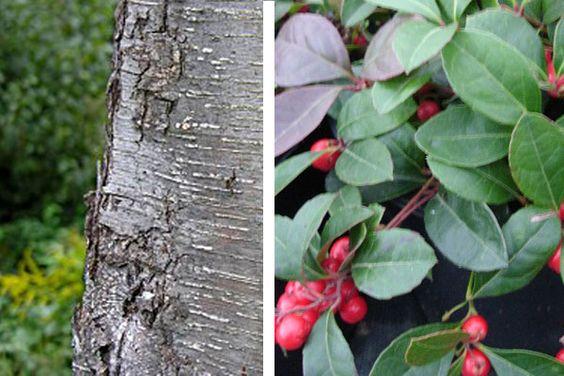 ~Betula lenta (Sweet Birch) or Gaultheria procumbens (Eastern teaberry)  ~Betulaceae or Ericaceae  ~Traditional: astringent, antiseptic, antipyretic, antirheumatic, cathartic, emetic  ~Phytochem: methyl salicylate  ~Activity/MOA: rubifacient= anti-inflammatory, antirheumatic