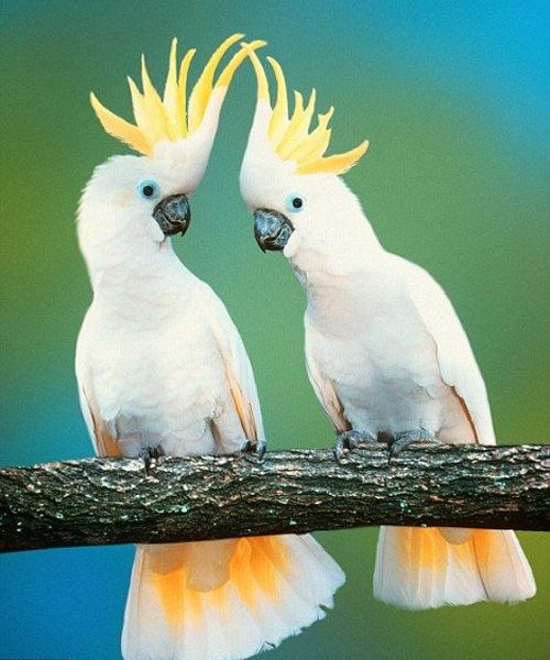 Very Beautiful White Australian Parrots Beautiful And