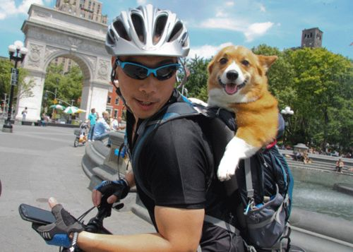 awesome: Dogs Corgis, Welsh Corgis, Adorable Corgies, Backpack Paused, Corgis Rule, Backpack Nyc, Backpacking Corgi, Corgi Backpacking, Charming Corgis