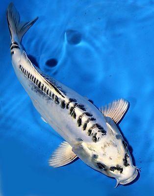 Koi zippers and ebay on pinterest for Ebay live fish