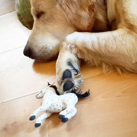 Bu da Tarçot.  Atıyla uyurken.  #golden #retriever #köpek #dog #goldenretriever #sleepy #dogs #retrieverlife #tarçın #sleeping #uyku #sleep #sleepybeauty #horse #toy #sleepybaby #little #baby by bohemrapsodi