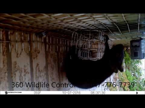 4 Squirrels Evicted From Attic Youtube Squirrel Get Rid Of Squirrels Wildlife