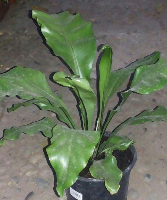 Nido de ave helecho nido nombre cientifico asplenium for Planta ornamental helecho nombre cientifico