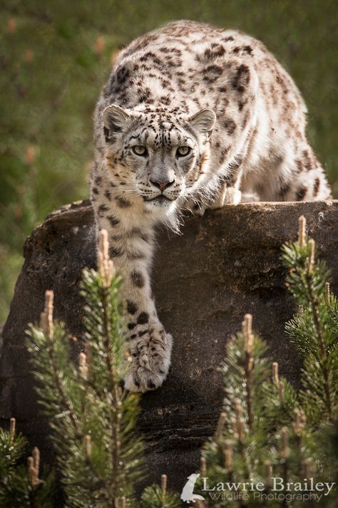 Snow leopard (Lawrie Brailey Wildlife Photography)