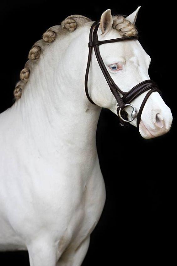 Stocky pony