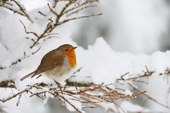 Viele unserer heimischen Vögel ziehen nicht zum Überwintern in den Süden, sondern bleiben das ganze Jahr über an einem Ort. Man bezeichnet sie deshalb als Standvögel. Wie Sie ihnen durch den Winter helfen können, zeigen wir in unserer Fotostrecke.