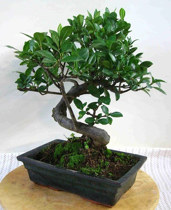 planta gardenia | bonsai♥°•○○♥ | pinterest | gardenias and bonsai