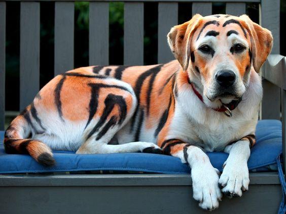Para comemorar o aniversário de quatro anos desuasobrinha, Matt Curranpintou o pelo de seu labrador com umatintura especial para animaispara que ele ficasse parecido com um tigre, na Austrália