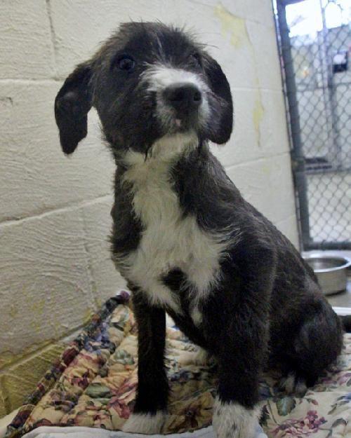 Image Result For Boxer Schnauzer Mix Schnauzer Mix Dog Adoption