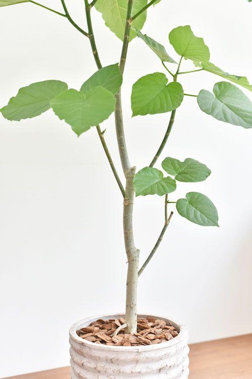 ウンベラータ 06177 販売 通販 詳細ページ Tree Tree 鉢植え