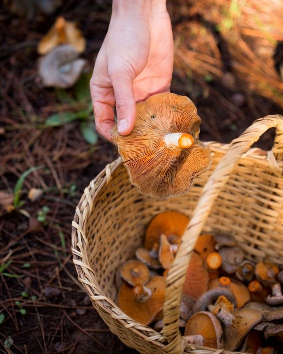 Pine ring mushrooms in a woven basket