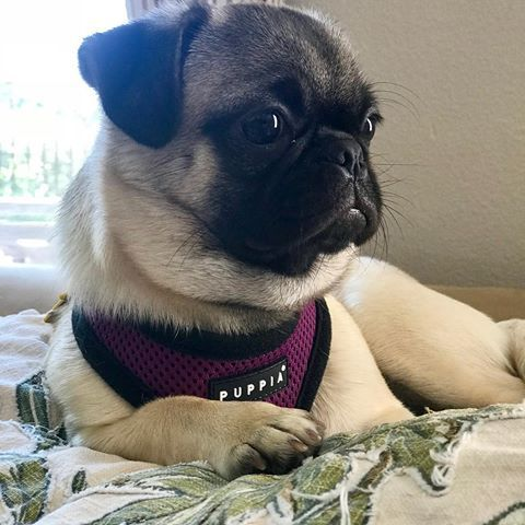 Puppia Soft Harness Available At Www Ilovepugs Co Uk Sizes S Xxl