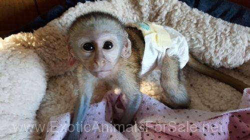 Finger Monkeys For Sale