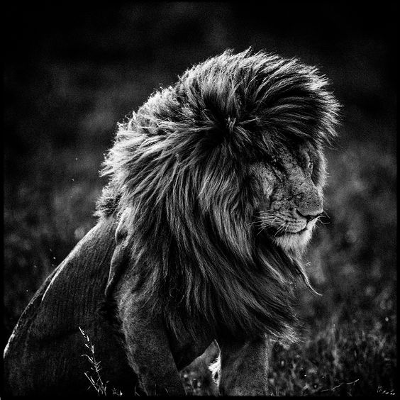 Terre Des Lions Les Incroyables Clichés Danimaux Sauvages D - Powerful and intimate black white animal portraits by luke holas