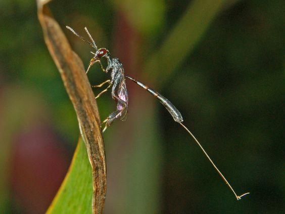 https://flic.kr/p/dDJcoa | Gasteruptiidae - Gasteruption jaculator-1 | Gasteruptiidae - Gasteruption jaculator