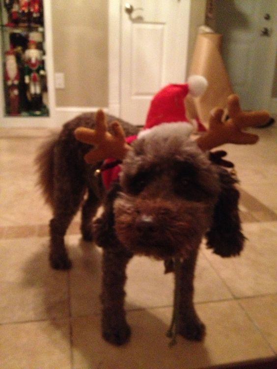 I'm a labradoodle not a reindeer'.