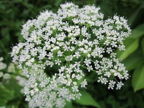 Giersch Hilft Gegen Gicht Rheuma Hamorrhoiden Und Wird Auch Als Entschlackungskur Verwendet Giersch Flora Garten Giersch Rezepte