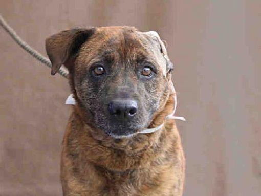 Baldwin Park Ca Labrador Retriever Meet Tacha A Dog For