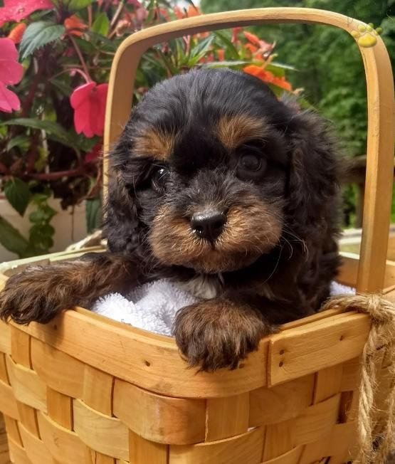 Trixie Cavapoo Puppy For Sale In Bethel Pa Lancaster Puppies Cavapoo Puppies Cavapoo Puppies For Sale Puppies